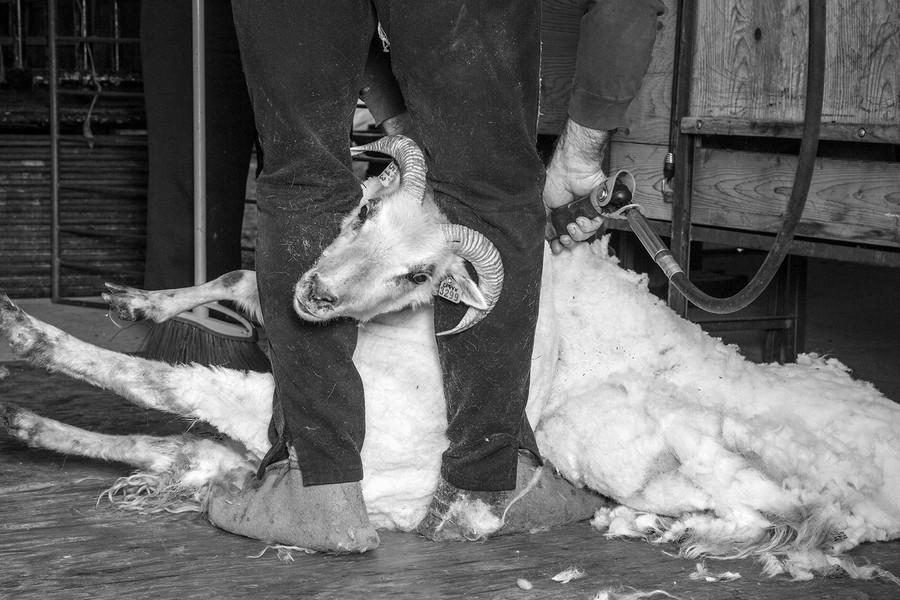 Sheep Shearning