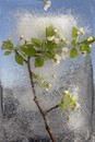 White Crabapple Blooming Branch
