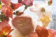 Garden Roses, 2008