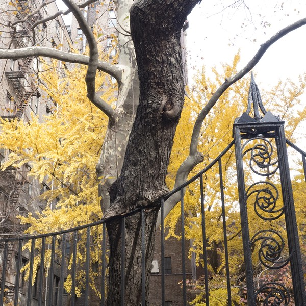 Tree,  East 22nd Street