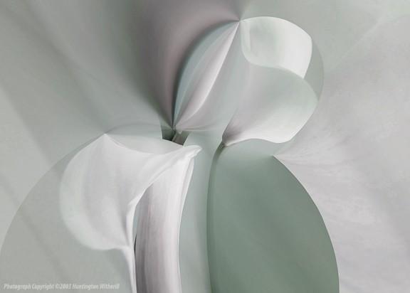30411 •Calla Lilies #24, 2003