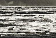 Polar Bear, Cumberland Sound, Baffin Island