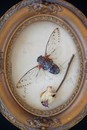 Last Rose/Anniversary Portrait (Cicada)