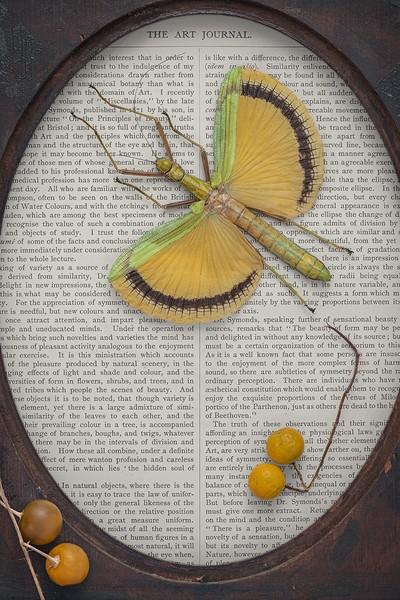 Subtext (Tagesoidea Nigrofasciata)