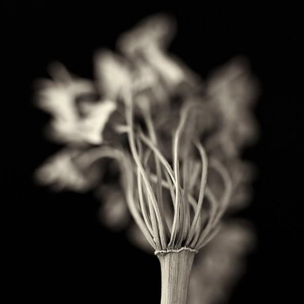 Dried Allium Seed Head
