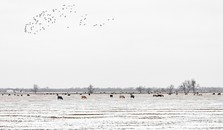 Cattle & Geese, near Wanette, Oklahoma