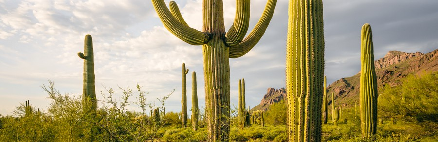 A Meeting of Saguaros
