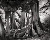 Ficus Trees, Allerton Botanical Garden, Kaua'i