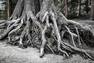 Uprooted