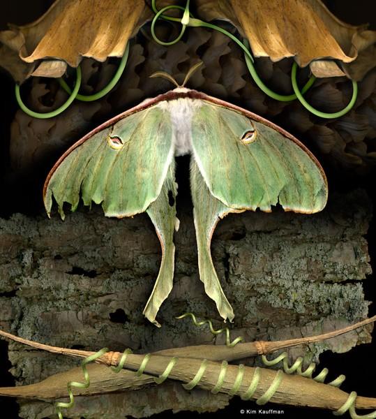 Investigation: Luna Moth
