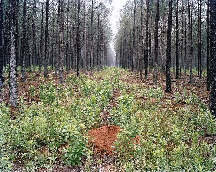 Planted Pines
