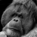 Orangutan, Moscow, Russia