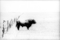 Bull #1, High Plains, Texas