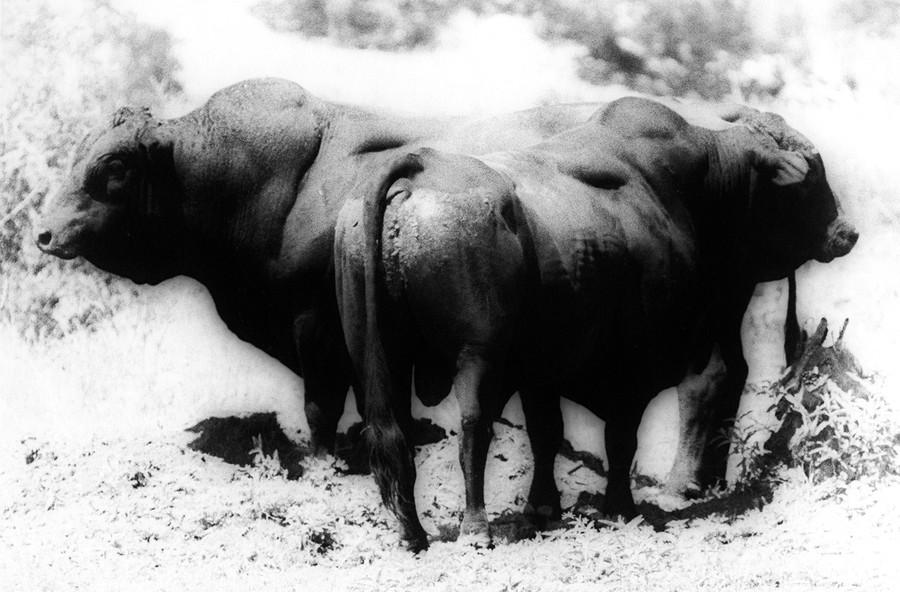Bulls #2, Ilano, Texas